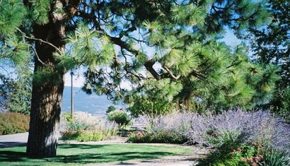 "Russian Lavender in Summerland""s public gardens"