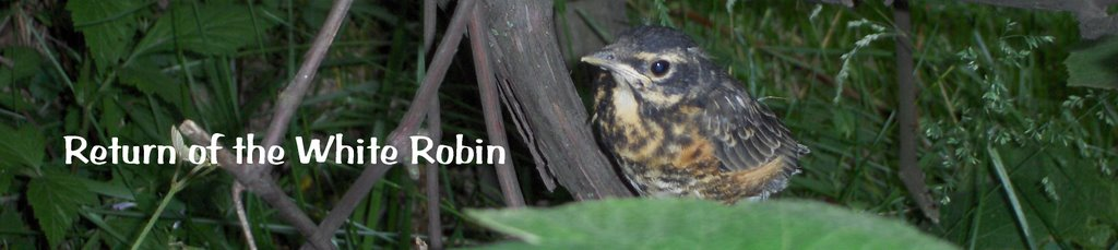 Return of the White Robin