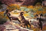 Endangered Peninsular Bighorn Sheep