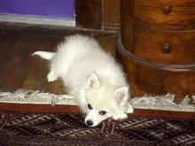 Siku as a puppy, 2005