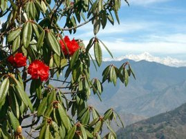 Rhododendrons in Mussoorie