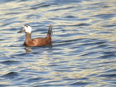 White-headed Duck in Velilla de San Antonio (Madrid)