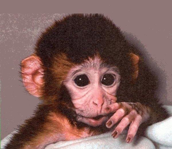 Chez matthieu dawkins le g ne go ste 3 altruisme et go sme - Petit singe rigolo ...